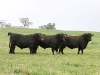 bensimpson_livestock_1070