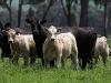 bensimpson_livestock_1814