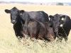 bensimpson_livestock_5530