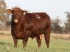 bensimpson_livestock_7705