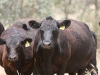 bensimpson_livestock_8702