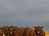 bensimpson_livestock_9864