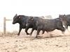 dancing-with-bulls-36