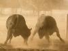 dancing-with-bulls-38