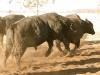 dancing-with-bulls-41