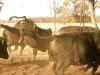 dancing-with-bulls-42