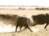 dancing-with-bulls-52