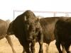 dancing-with-bulls-53