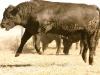 dancing-with-bulls-54