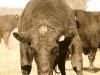 dancing-with-bulls-59
