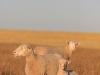 bensimpson_livestock_1415