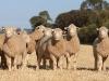 bensimpson_livestock_1535_0