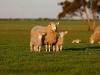 bensimpson_livestock_7223