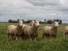 bensimpson_livestock_8661