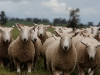 bensimpson_livestock_8670